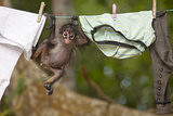 Central American Spider Monkey (Ateles Geoffroyi) Orphan Baby Hanging from Washing Line Photographic Print by Claudio Contreras