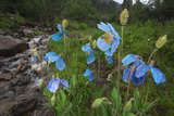 Blue Poppy (Meconopsis Betonicifolia) Photographic Print by Dong Lei