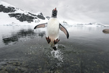 Gentoo Penguin (Pygoscelis Papua) Jumping Out of the Sea Photographic Print by Ben Cranke