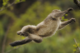 Yunnan Snub-Nosed Monkey (Rhinopithecus Bieti) Jumping from Tree to Tree Photographic Print by Staffan Widstrand