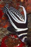 Spotted Drum Fish (Equetus Punctatus) Puerto Morelos National Park, Caribbean Sea, Mexico, February Photographic Print by Claudio Contreras