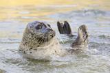 Adult Female Common - Harbour Seal (Phoca Vitulina) 'Sija' Waving a Flipper Reprodukcja zdjęcia autor Nick Upton