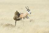 Leopard (Panthera Pardus) Hunting Springbok (Antidorcas Marsupialis) Etosha Photographic Print by Wim van den Heever