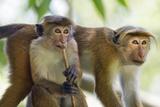 Toque Macaque (Macaca Sinica Sinica) Group Feeding in Garden, Sri Lanka Fotografisk trykk av Ernie Janes