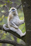 Quinling Golden Snub Nosed Monkey (Rhinopitecus Roxellana Qinligensis), Infant Sitting in a Tree Photographic Print by Florian Möllers