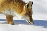 Close-Up of a Red Fox (Vulpes Vulpes) Sniffing Fotografisk tryk af Benjamin Barthelemy