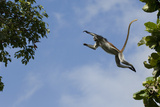 Zanzibar - Kirks Red Colobus Monkey (Procolobus Kirkii) Leaping from Tree Canopy Photographic Print by Bernard Castelein