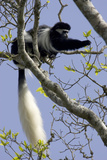 Black-And-White Colobus Monkey (Colobus Guereza) Feeding in Tree, Aberdares Np, Kenya Photographic Print by Suzi Eszterhas
