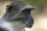 Blue Monkey (Cercopithecus Mitis) Portrait. Gede Ruins, Kenya Photographic Print by Ben Lascelles