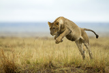 Lion (Panthera Leo) Female Jumping - Hunting, Masai Mara Game Reserve, Kenya Photographic Print by  Denis-Huot