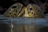 Green Turtle (Chelonia Mydas) Two Interacting at Surface Photographic Print by Pedro Narra