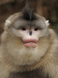 Yunnan Snub-Nosed Monkey,(Rhinopithecus Bieti) Portrait, Ta Chen Np, Yunnan Province, China Photographic Print by Staffan Widstrand