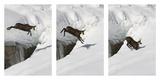 Chamois (Rupicapra Rupicapra) Jumping over Crevasse in the Snow, Abruzzo National Park, Italy Reproduction photographique par Angelo Gandolfi