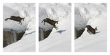 Chamois (Rupicapra Rupicapra) Jumping over Crevasse in the Snow, Abruzzo National Park, Italy Fotografisk tryk af Angelo Gandolfi