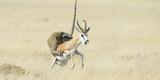 Leopard (Panthera Pardus) Hunting Springbok (Antidorcas Marsupialis) Etosha Fotodruck von Wim van den Heever
