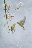 Greenfinch (Carduelis Chloris) Pair Photographic Print by Ben Hall