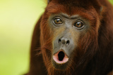 Red Howler Monkey (Alouatta Seniculus) Howling, Captive Photographic Print by Mark Bowler