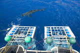 Great White Shark (Carcharodon Carcharias) Swimming in Front of Scuba Diving Cages Photographic Print by Franco Banfi
