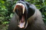 Adult Male Drill (Mandrillus Leucophaeus) Yawning Fotografiskt tryck av Cyril Ruoso
