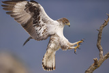 Bonelli's Eagle or Eurasian Hawk-Eagle Papier Photo par Staffan Widstrand