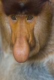 Proboscis Monkey (Nasalis Larvatus) Face Close Up, Sabah, Malaysia, Borneo Photographic Print by Juan Carlos Munoz