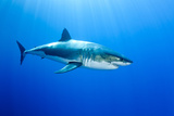 Great White Shark (Carcharodon Carcharias) Guadalupe Island, Mexico, Pacific Ocean Photographic Print by Franco Banfi