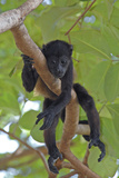 Young Black Howler Monkey (Alouatta Caraya) Looking Down from Tree, Costa Rica Photographic Print by Edwin Giesbers