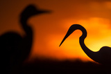 Great White Egret (Ardea Alba) Silhouetted at Sunset, Lake Csaj, Pusztaszer, Hungary, February Photographic Print by Bence Mate