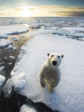 Polar Bear (Ursus Maritimus) Standing on Ice Floe, Looking at Camera. Svalbard, Norway. August Photographic Print by Ole Jorgen Liodden