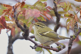 Yellow Browed Warbler (Phylloscopus Inornatus) Perched on Twig, Uto, Finland, September Photographic Print by Markus Varesvuo
