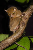 Adult Western - Horsfield'S Tarsier (Tarsius Bancanus) In Forest Understorey At Night Photographic Print by Nick Garbutt