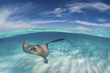 A Split Level Image of Southern Stingray (Dasyatis Americana) Swimming over a Sand Bar Photographic Print by Alex Mustard