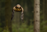 Golden Eagle (Aquila Chrysaetos) Flying Through Forest, Czech Republic, November. Captive Photographic Print by Ben Hall