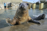 Blind Adult Male Grey Seal (Halichoerus Grypus) 'Marlin' Waving a Flipper Reprodukcja zdjęcia autor Nick Upton