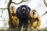Black Howler Monkeys (Alouatta Caraya) Male and Two Females Calling from Tree Photographic Print by Juan Carlos Munoz