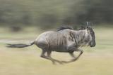 Blue Wildebeest (Connochaetes Taurinus) Running, Masai Mara, Kenya Photographic Print by Wim van den Heever