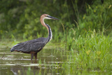 Goliath Heron (Ardea Goliath) Standing in the Waters Photographic Print by Neil Aldridge