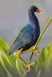 Purple Gallinule (Porphyrula Martinica) Adult. Wakodahatchee Wetlands, Florida, USA, May Papier Photo par Melvin Grey