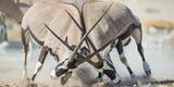 Two Gemsbok Bulls (Oryx Gazella) Males Fighitng, Etosha National Park, Namibia Fotografisk tryk af Wim van den Heever