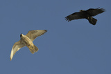Raven (Corvus Corax) Mobbing Gyrfalcon (Falco Rusticolus) Photographic Print by Staffan Widstrand