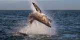 Great White Shark (Carcharodon Carcharias) Breaching Photographic Print by Cheryl-Samantha Owen