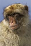 Barbary Ape Portrait (Macaca Sylvanus) Gibraltar Photographic Print by John Cancalosi