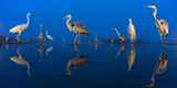 Little Egret (Egretta Garzetta) and Grey Herons (Ardea Cinerea) Reflected in Lake at Twilight Photographic Print by Bence Mate