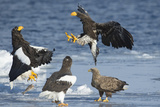 Steller's Sea-Eagle (Haliaeetus Pelagicus) Two Fighting over Fish Photographic Print by Wim van den Heever