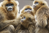 Golden Snub-Nosed Monkeys (Rhinopithecus Roxellana Qinlingensis) Family Group Photographic Print by Florian Möllers