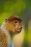 Proboscis Monkey (Nasalis Larvatus), Sabah Malaysia, Borneo Photographic Print by Juan Carlos Munoz