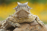 Texas Horned Lizard (Phrynosoma Cornutum) Portrait, Laredo Borderlands, Texas, USA. April Photographic Print by Claudio Contreras