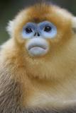Golden Snub-Nosed Monkey (Rhinopithecus Roxellana Qinlingensis) Portrait Photographic Print by Florian Möllers
