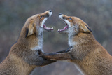 Red Foxes (Vulpes Vulpes) Fighting Photographic Print by Edwin Giesbers