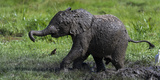 African Elephant (Loxodonta Africana) Calf Covered in Mud Photographic Print by Cheryl-Samantha Owen